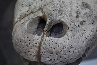 American alligator - The snout of an American alligator
