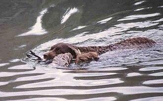 Field trial - An American Water Spaniel retrieving