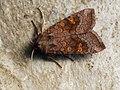 Amphipoea fucosa lucens oculea - Ear moth - Совка яровая (44491783611).jpg