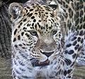 Amur Leopard 2 (5017701787).jpg