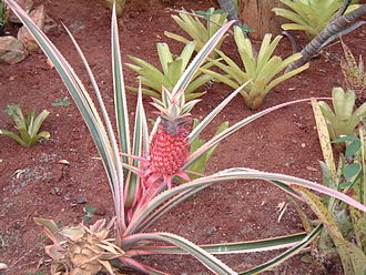 Ananas - Image: Ananasornamental 1