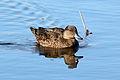 Anas castanea Coolart Wetlands 2.jpg