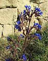 Anchusa species - Flickr - brewbooks.jpg