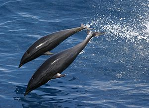 Northern right whale dolphin - Image: Anim 1749 Flickr NOAA Photo Library