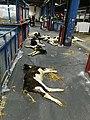 Animal live export on planes israel 02.jpg