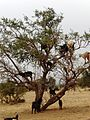 Animals on a tree in Morocco.JPG
