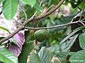 Annona montana, aticum - Flickr - Tarciso Leão (4).jpg
