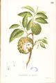 Annona squamosa Blanco1.192-original.png