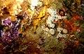 Anthothoe albocincta - Poor Knights Islands.jpg