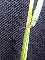 Anthoxanthum odoratum 132947226.jpg