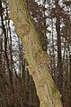 Anthracnose - canker - Baumkrebs - Pflanzenkrebs - Chancre - antracnosis - 02.jpg