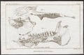 Anthracotherium spec. - kaak - 1700-1880 - Print - Iconographia Zoologica - Special Collections University of Amsterdam - UBA01 IZ22000315.tif