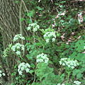 Anthriscus sylvestris in Hertenduin lands 02.jpg