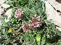 Anthyllis vulneraria 1.JPG