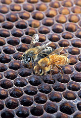 The Africanized honeybee and the regular honeybee on a honeycomb