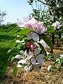Apple blossom, Stuppington - geograph.org.uk - 169411.jpg