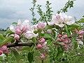 Apple blossom - geograph.org.uk - 414427.jpg
