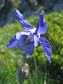 definition of aquilegia