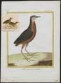 Aramides viridis - 1700-1880 - Print - Iconographia Zoologica - Special Collections University of Amsterdam - UBA01 IZ17500057.tif