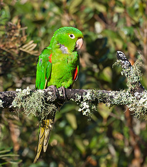 White-eyed parakeet - In Brazil