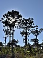 Araucaria Angustifolia - panoramio (3).jpg