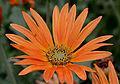 Arctotis x hybrida cv. Flame Flower.JPG
