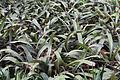 Aregelia spectabilis - South China Botanical Garden 2013.11.02 11-25-49.jpg