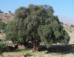 L'arganier (Argania spinosa) 250px-Arganier