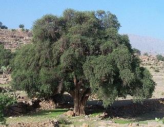 Mediterranean Acacia-Argania dry woodlands Hicimos un trabajo de esto Fdo:duxter, garquinha y pablochos