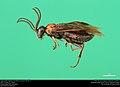 Argid sawfly (Argidae, Hemidianeura texana (Norton)) (36928898925).jpg