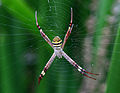 Argiope keyserlingi, St Andrews Cross Spider, Sydney.jpg