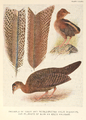 Argus Pheasant plumage by Henrik Grönvold.png