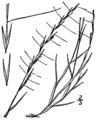 Aristida longespica longespica BB-1913.png