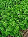 Aristolochia clematitis 001.JPG