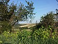 Aristolochia clematitis sl22.jpg