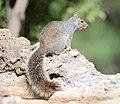 Arizona gray squirrel (Sciurus arizonensis) DSC 8001zzc.jpg