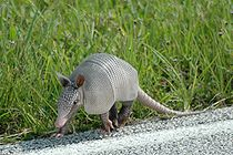 Armadillo at Kennedy Space Center (KSC-07PD-2276).jpg