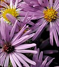 Aromatic aster (cropped).jpg