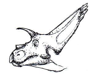 Arrhinoceratops - Restoration of the head
