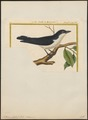 Artamus chabert - 1700-1880 - Print - Iconographia Zoologica - Special Collections University of Amsterdam - UBA01 IZ16400135.tif