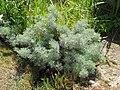 Artemisia alba Canescens.jpg