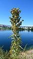 Artemisia dracunculus 1.jpg