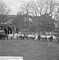 Artis 125 jaar dierentuin Flamingos, Bestanddeelnr 915-1164.jpg