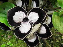 Asarum maximum2.jpg