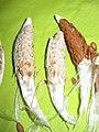 Asclepias syriaca (fruits and seeds) D130830 closeup.jpg