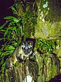 Asian Palm Civet (14154572432).jpg