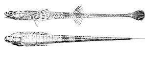 Poacher (fish) - Alligatorfish (Aspidophoroides monopterygius)