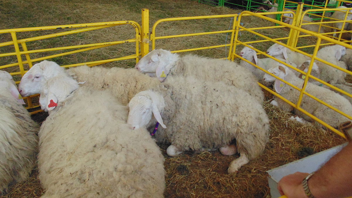 Assaf sheep sperm