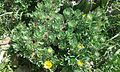 Asteriscus sericeus planta.jpg