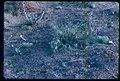 Astragalus purshii var. ophiogenes plant in southern Idaho 2.jpg